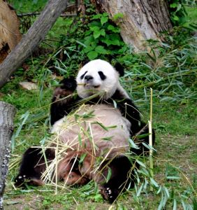 Panda at Washington National Zoo
